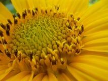 Stempel-Sonnenblume Lizenzfreie Stockfotografie