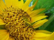 Stempel-Sonnenblumen Stockfoto