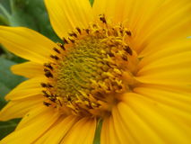 Stempel-Sonnenblumen Stockfotos