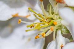 Stempel und Staubgefässe der Apple-Blüte Stockfoto