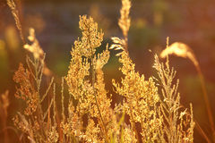 Stems of autumn grass Stock Photography