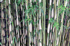 Stems of a Bamboo forrest at Dutch plantation Stock Photo