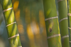 Stems of bamboo, green background Royalty Free Stock Photos