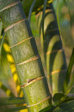Stems of bamboo, green background Royalty Free Stock Photography
