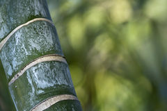 Stems of bamboo, green background Royalty Free Stock Image