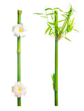 Stems of bamboo with leaves and frangipani flower is isolated on Stock Photos