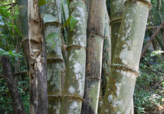 Stems bamboo tree in white mildew Stock Photography