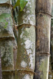 Stems bamboo tree in white mildew. Jungle Stock Image