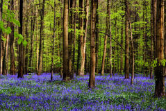 Stems in blues. Forest full of bluebells in spring Royalty Free Stock Image