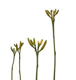 Stems  daylily with buds Stock Image
