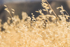 Stems of Golden Yellow Grass Royalty Free Stock Photo