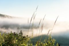 Stems of grass against fog background. Stems of grass above the mountain river Royalty Free Stock Images