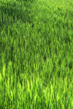 Stems from green reeds Stock Images