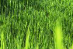 Stems from green reeds Royalty Free Stock Photo