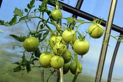Stems with green tomatoes Royalty Free Stock Photo