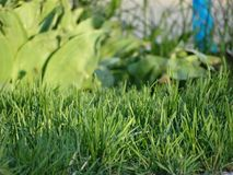 The stems of lawn grass. Will be a great background for articles on environmental topics Royalty Free Stock Images