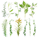 Stems of a plant on a white background. Grass on white background. Isolated green grass with drops on white background Royalty Free Stock Photography