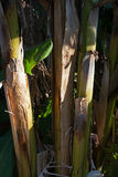 STEMS OF PLANTAIN TREE Stock Photo