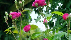 The stems of red roses. The stems of red roses stock video