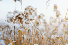 The stems of the reed on the snow background . stems in snow. Russia Royalty Free Stock Image