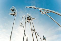 The stems of the reed on the snow background . stems in snow. Russia Stock Photo