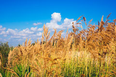 The stems of reeds on a background  blue sky with clouds. The stems of reeds on blue sky background. Summer landscape Royalty Free Stock Image