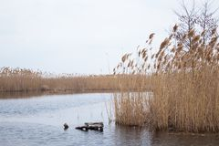 Stems of reeds over the water royalty free stock photography