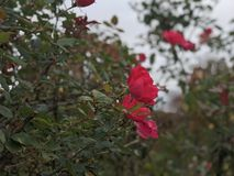 Stems. Roses have stems lined with thorns Royalty Free Stock Images