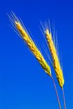 Stems of the rye. Over the bright blue sky Stock Photos
