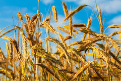 Stems of the rye. Over the bright blue sky Royalty Free Stock Image