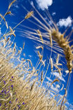 Stems of rye. On blue sky background. Selective focus, fragment Stock Images