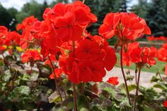 Stems with red flowers of zonal pelargonium. Stems with scarlet flowers of zonal pelargonium Royalty Free Stock Image