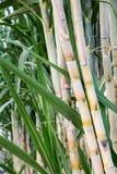 The stems of sugar cane. Stems of sugar cane in the garden Stock Photos