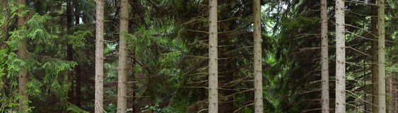 Stems of trees in forest Royalty Free Stock Photos
