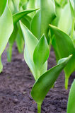 Stems of tulips in the ground Stock Photos