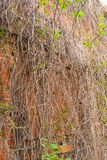The stems of vineyards entwine a brick wall. royalty free stock photography