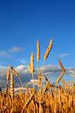 Stems of the wheat Stock Image