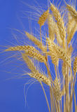 Stems of wheat against blue sky Royalty Free Stock Photos