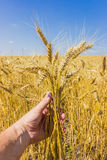 Stems of wheat in the hand Royalty Free Stock Photo