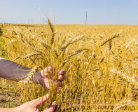 Stems of wheat in the hands Stock Image