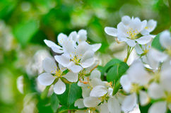 Stems of white flowers at blooming fruit tree. Spring blossom: branch of a blossoming apple tree on garden background / Blooming apple tree in spring time / new Stock Photo