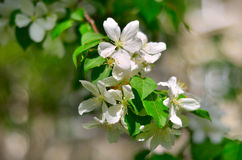 Stems of white flowers at blooming fruit tree. Spring blossom: branch of a blossoming apple tree on garden background / Blooming apple tree in spring time / new Royalty Free Stock Photo