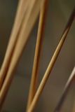 Stems of wild Grass. Tall, thin stems of wild grass Stock Images