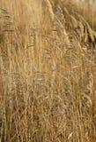 Stems of wild oats Stock Photo