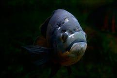 sten för hav för norr för adriatic undervattens- annimal farlig fiskhuman mycket Arkivfoto