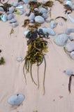 Stenar och Seaweed Royaltyfri Foto