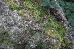 Stenblock med mossor i skogsmark Fotografering för Bildbyråer