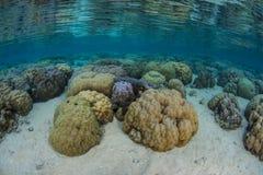 Stenblockkoraller växer blir grund in nära Ambon, Indonesien arkivbilder
