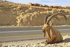 Stenbock på huvudvägen i den Negev öknen Arkivfoton