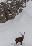 Stenbock som går i snön Arkivfoton